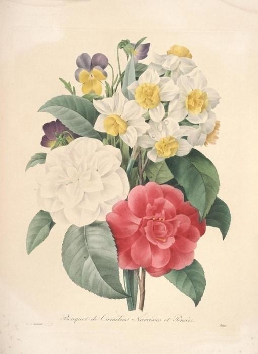百草集-花之拉斐尔:雷杜德