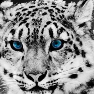疯狂动物城雪豹简笔画