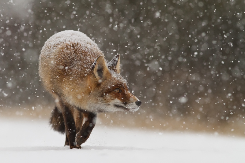 Fox' First Snow by Roeselien Raimond