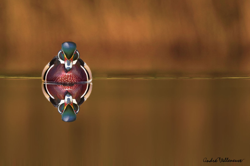 The wood duck and his reflex by Andre Villeneuve