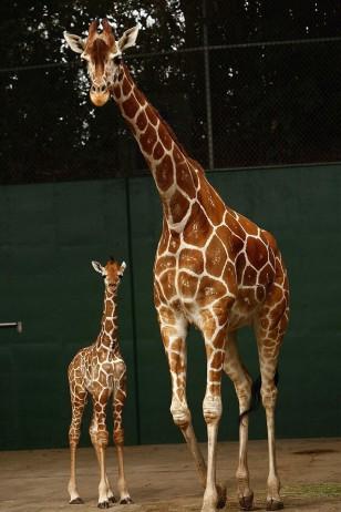 Giraffe Baby - 美国佛罗里达州布希公园,长颈鹿妈妈和幼崽